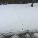 雪が降っても元気なポインセチア