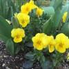 春のマイガーデン、安く小さく買って大きく育てる