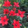 チューリップとブルーベリーの花