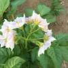 ジャガイモとトマトの花