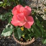 次々に薔薇が咲きます